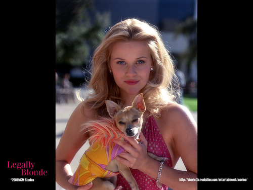 Legally Blonde wallpaper containing a chihuahua titled Legally Blonde wallpaper
