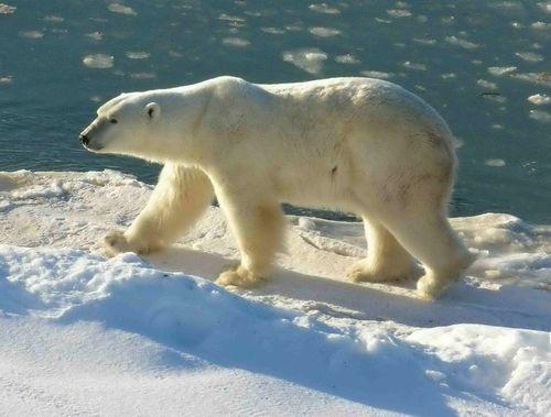 Polar くま, クマ (1)