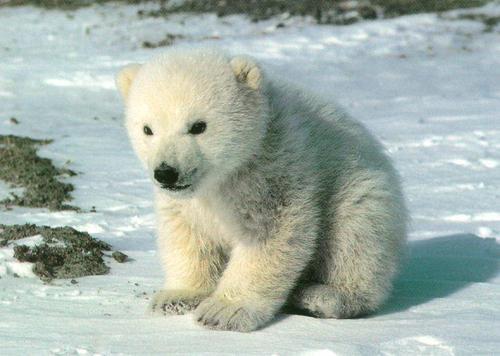 Polar くま, クマ (2)