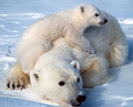 Polar Bear (5) - the-animal-kingdom photo
