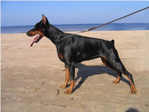 DOBERMAN wallpaper containing a doberman and a manchester terrier entitled DOBERMAN