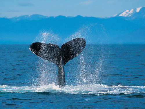Humpback ikan paus