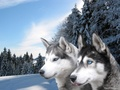 Malamutes  - domestic-animals wallpaper