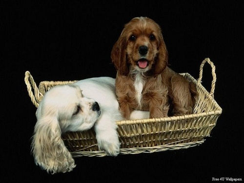 Domestic Animals wallpaper possibly with a cocker spaniel titled Puppy Basket