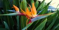 bird of paradise - gardening photo