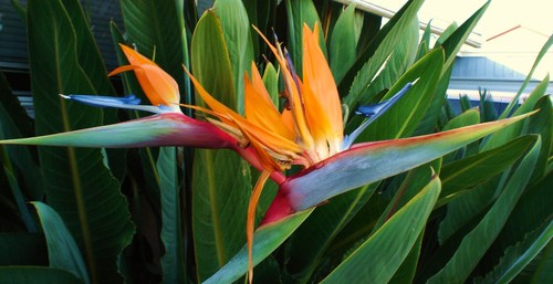 Gardening images bird of paradise hd wallpaper and background photos 2544085 - Hd images of birds of paradise ...