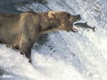 Bear Fishing - wild-animals photo