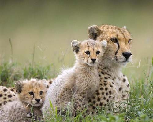 Cheetah Family - wild-animals Wallpaper