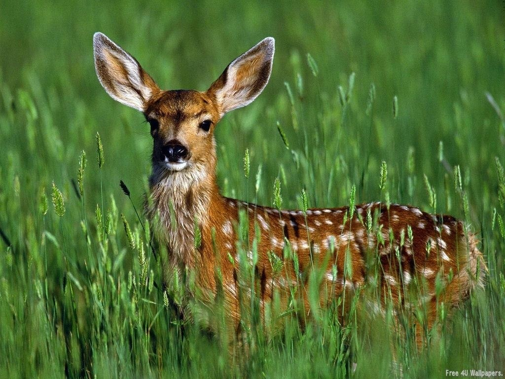 Wild Animals Photos Fawn wild animals Wallpaper