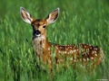 Fawn - wild-animals wallpaper