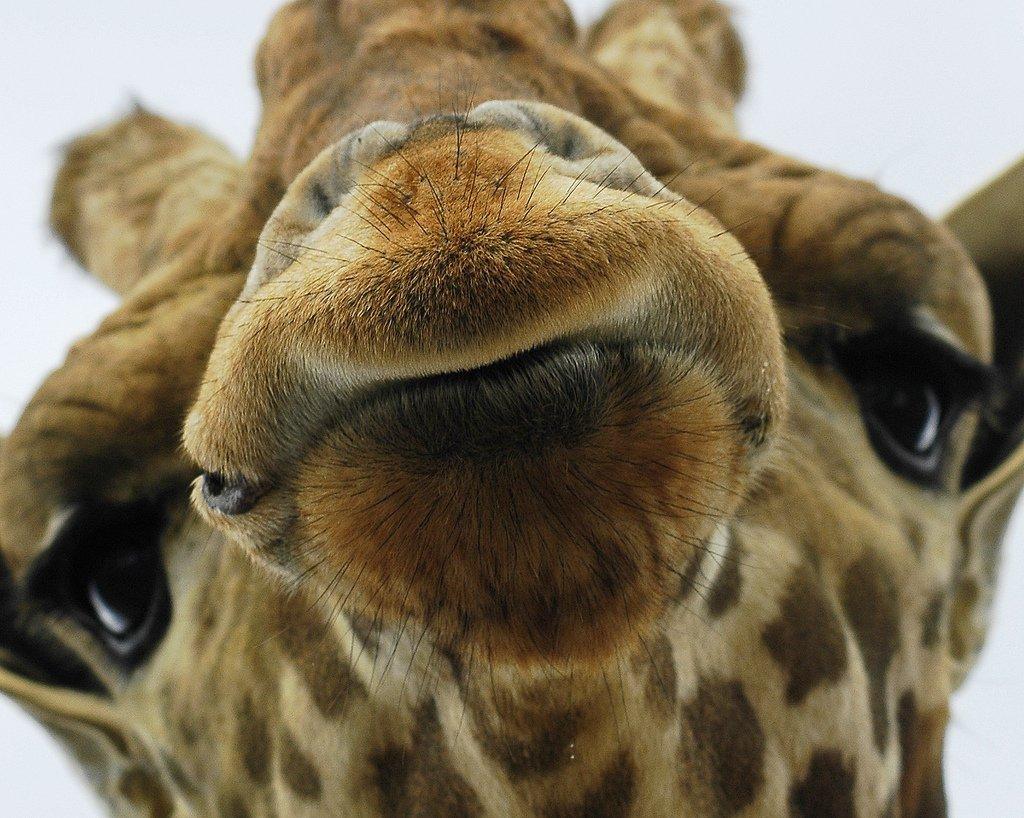 Giraffe - wild-animals Photo