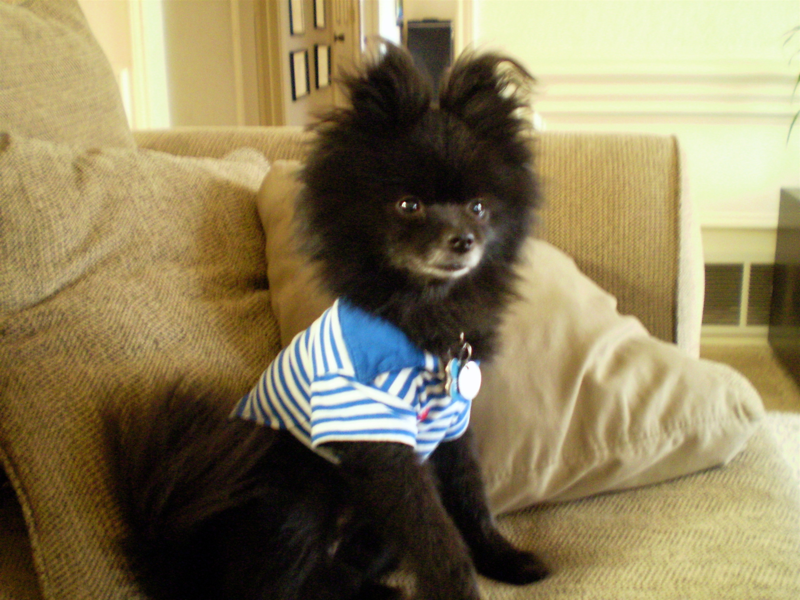 Who s A Cute Puppy Kazi the PomeranianCute Black Pomeranian Puppy Pictures