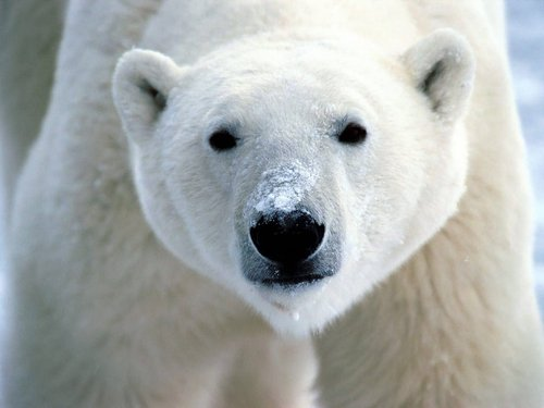 Wild Animals wallpaper with an ice bear titled Polar bear