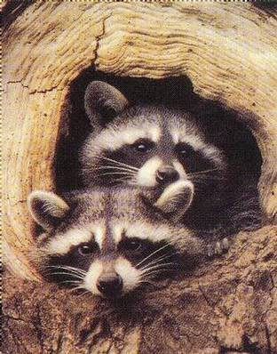 Wild Animals wallpaper with a common raccoon called Racoons