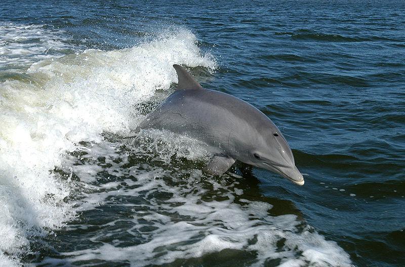 Swimming dolpin