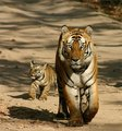 Tigers - wild-animals photo