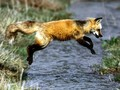 red fox, mbweha