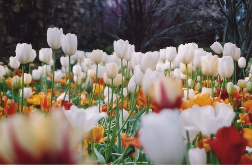 tulipán, tulip