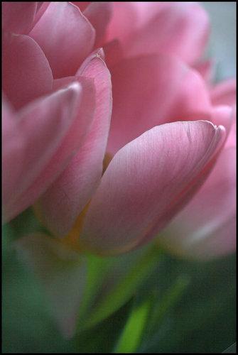 tulp, tulip