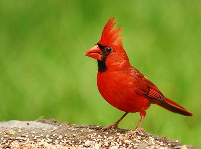The cardinal is the official state bird of all of these states except one. Which one doesn't belong?