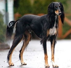 "Dog Breed IQ: Identify this wiry dog that is classified in the ""hound"" group by the American Kennel Club..."