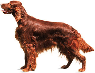 Dog Breed IQ: Identify this breed of sporting dog...
