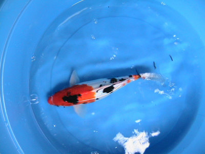 This picture shows an example of which variety of Koi?