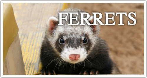 True or False : The ferret has been used to hunt rabbits.