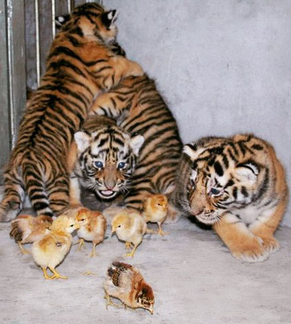 A group of tigers is called a...?