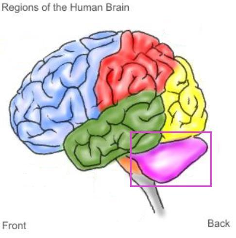 The area of the brain highlighted in گلابی is known as the....