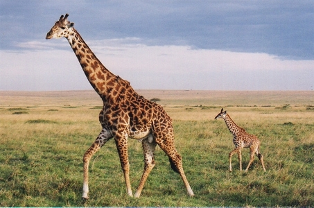What is a collective name for a group of giraffes?