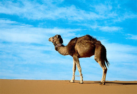 How many gallons of water can a dromedary camel drink in 10 minutes?