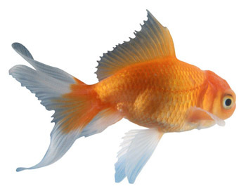 The common goldfish is the only animal that can see: