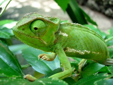 How far can a chameleon catch an insect with its tonuge?