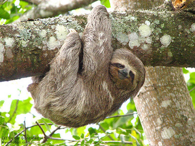 How many hours a week will the average sloth sleep?