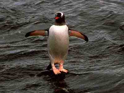How high can a manchot, pingouin leap out of water?