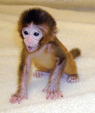 Rhesus Monkeys are alway born: