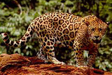 How many pads does a jaguar have on the bottom of each foot?