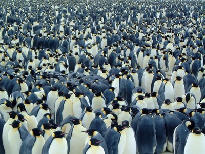 How long do penguins live in the wild?