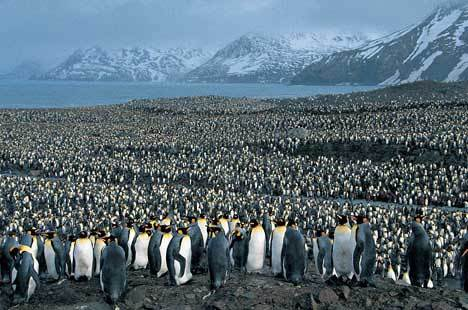 Which is the largest of all the penguins?