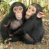 For the ape lovers!