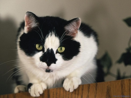 Domestic Black And White Cat