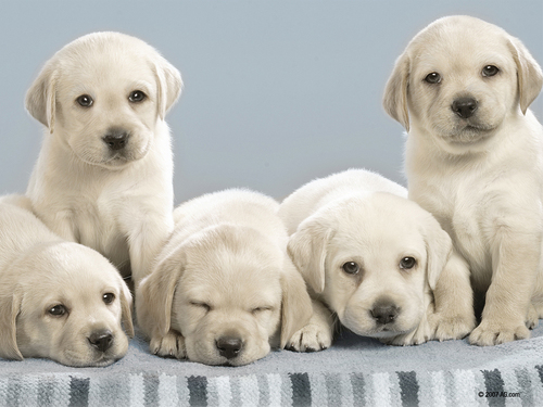 These chiens Look Alot Like my Yellow Lab on my game!